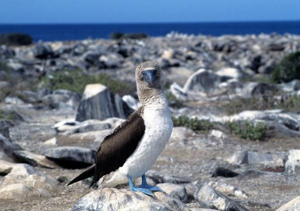 amtnsh.com_wp_content_uploads_2017_07_Blue_footed_Booby_7.