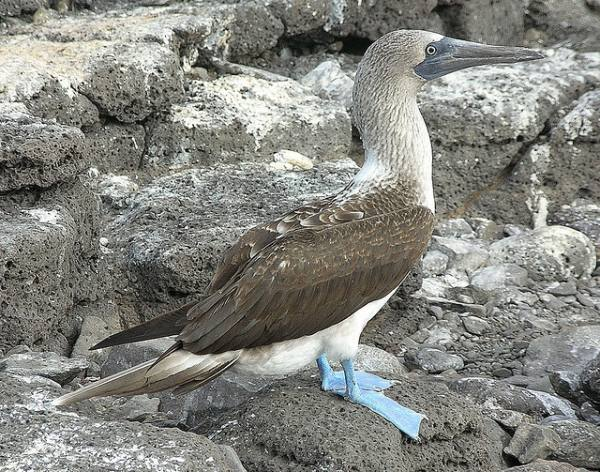 amtnsh.com_wp_content_uploads_2017_07_Blue_footed_Booby_12.