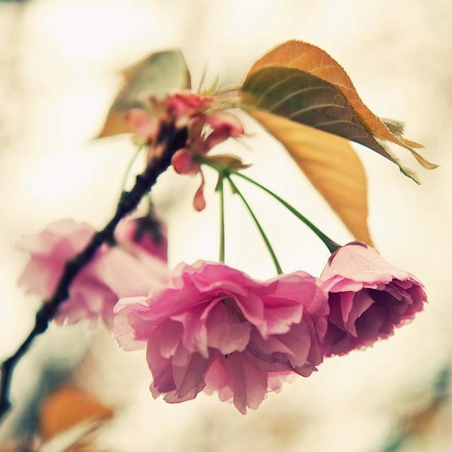 ai.pinimg.com_736x_33_14_50_3314501b485453041381b757e86cd7fd__cherry_blossoms_sakura.