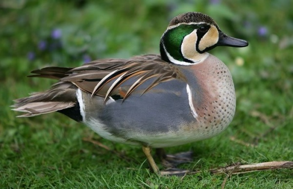 awww.universemagic.com_images_2018_11_wild_duck_species_10789_11_1541204060.