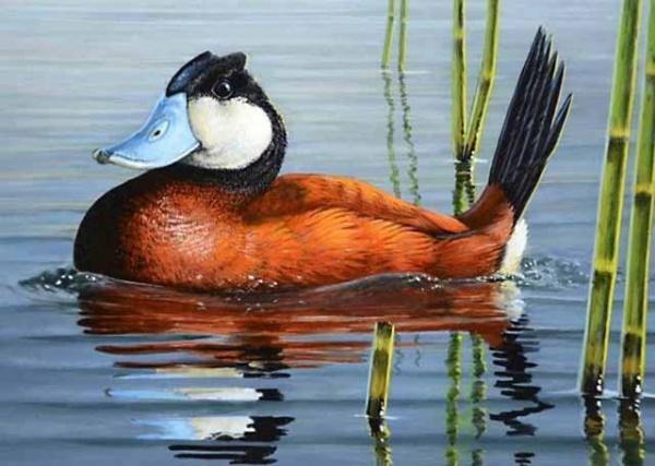 awww.universemagic.com_images_2018_11_wild_duck_species_10789_13_1541204063.jpg